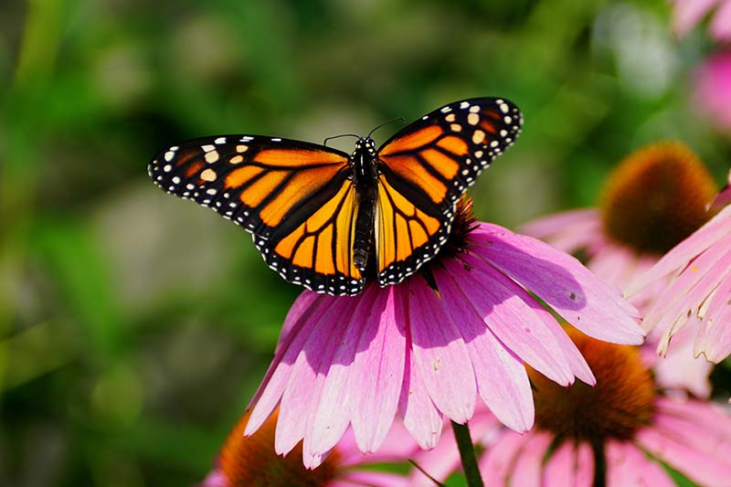 A close up horizontal image of a monarch butterfly foraging from an echinacea flower pictured in light sunshine on a soft focus background.