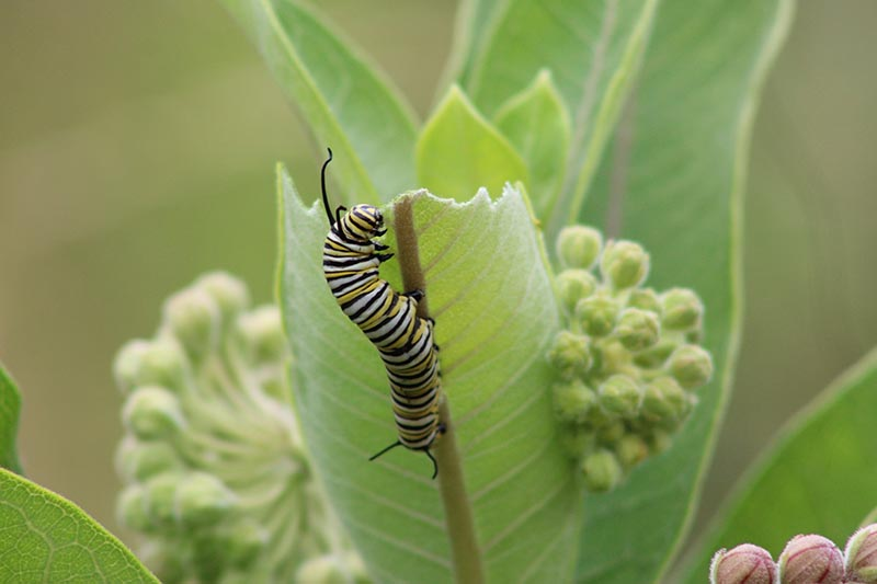 A close up horizontal image of a monarch caterpillar feeding on a milkweed plant pictured on a soft focus background.
