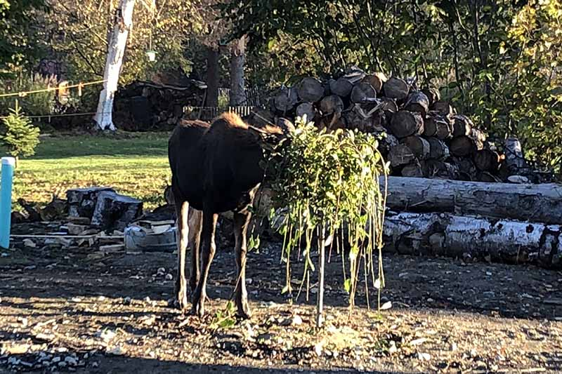 A close up horizontal image of a moose in a home garden munching on a willow tree.