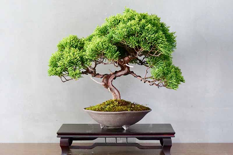 A close up horizontal image of a moyogi (informal upright) bonsai tree set on a wooden platform pictured on a light gray background.