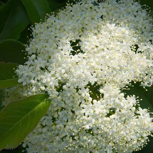 A close up square image of the white flowers of a nannyberry shrub pictured on a soft focus background.