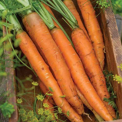 A close up square image of freshly harvested 'Nantes Half Long' carrots set in a wooden box.