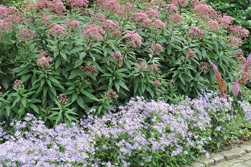 A close up horizontal image of joe-pye weed growing in a border with aster flowers growing in the foreground.