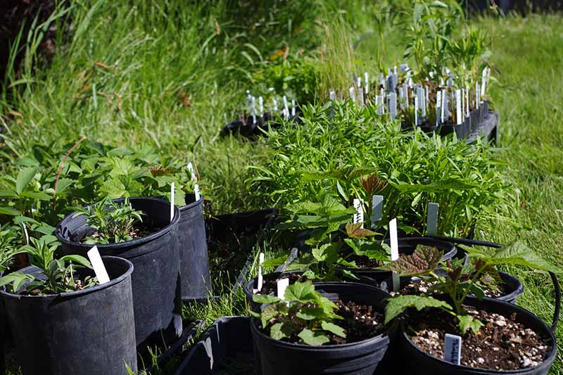 A close up horizontal image of a selection of plants growing in black plastic pots outdoors pictured in bright sunshine.