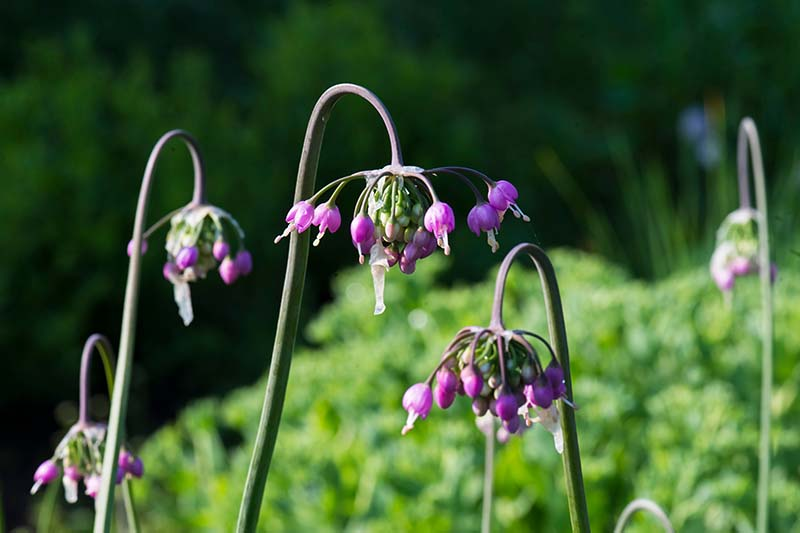 A close up horizontal image of nodding onions (Allium cernuum) growing in the garden pictured in bright sunshine on a soft focus background.
