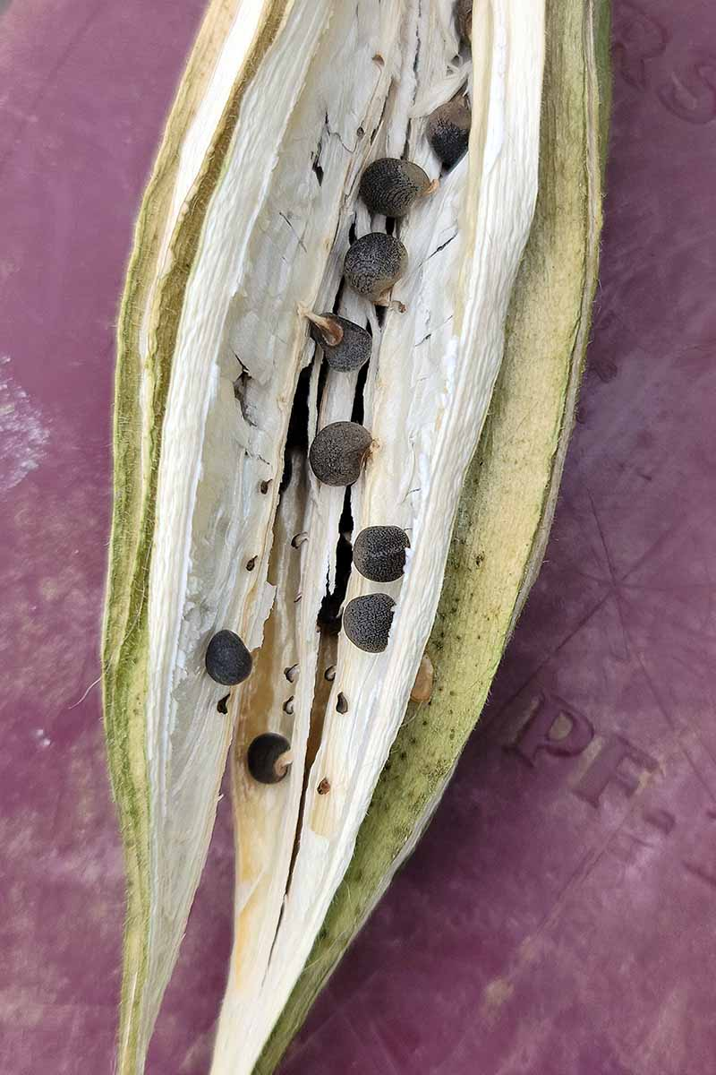 A close up vertical image of an okra pod split open to reveal the seeds inside set on a dark red surface.