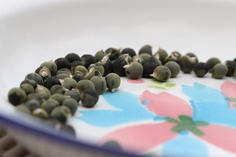 A close up horizontal image of saved okra seeds in a colorful bowl fading to soft focus in the background.