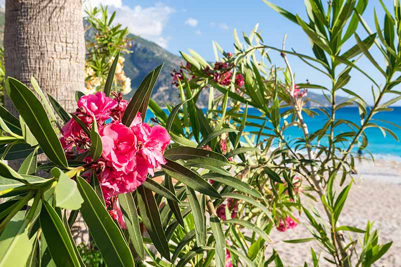 A close up horizontal image of an oleander shrub with pink flowers growing by a beach with blue sea and sky in the background.