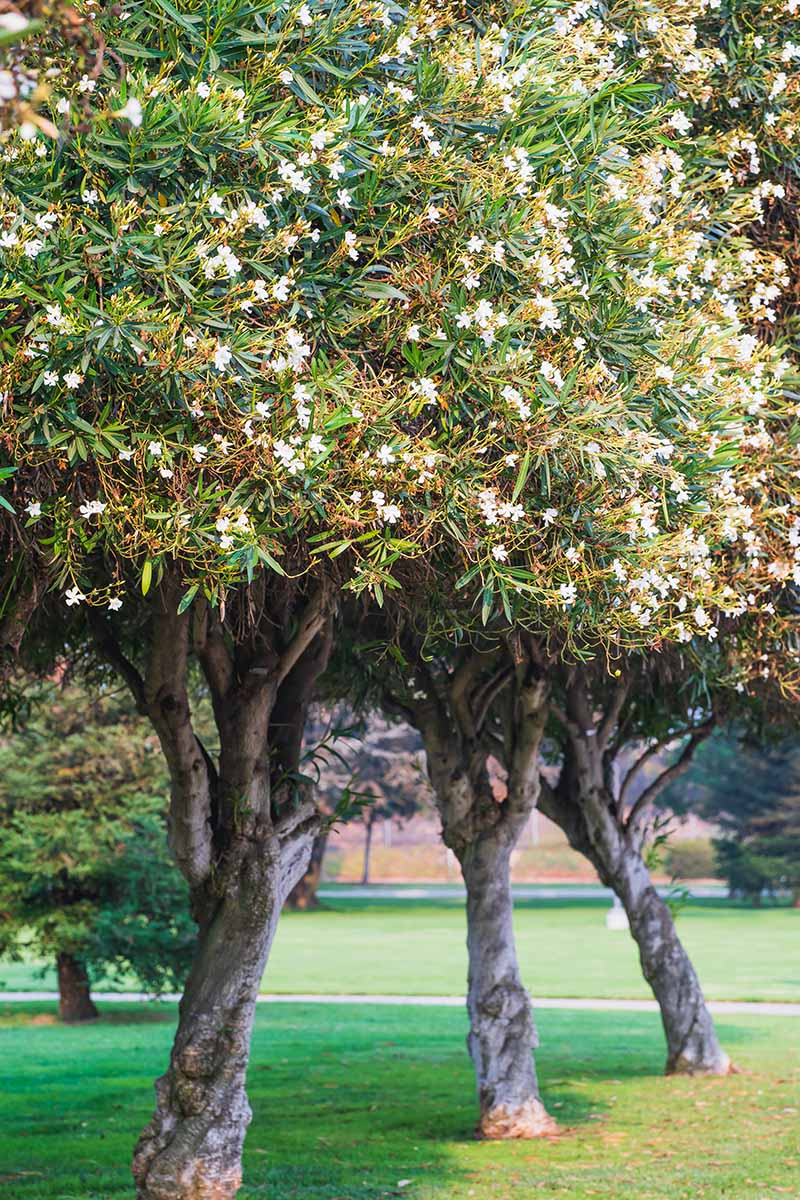 A vertical image of oleander trees with white flowers growing in a public park with lawns and pathways.