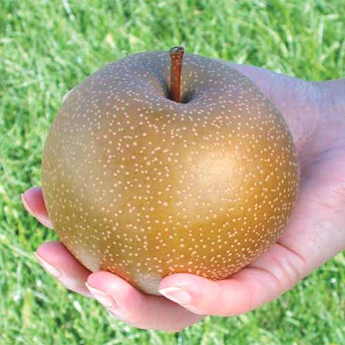 A close up square image of a human hand holding an 'Olympic Giant' nashi pear with lawn in soft focus in the background.