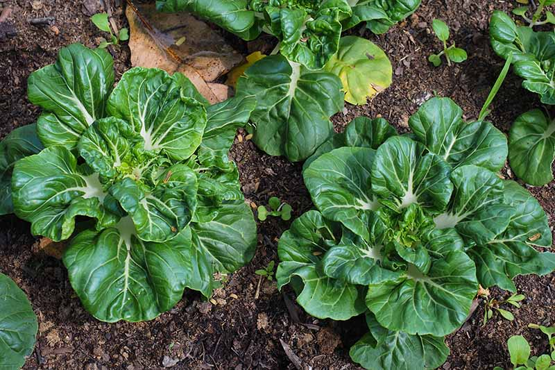 A close up horizontal image of pak choi growing in the garden.