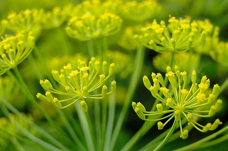 A close up horizontal image of the delicate yellow flowers of a parsnip that has been allowed to bolt pictured on a soft focus background.