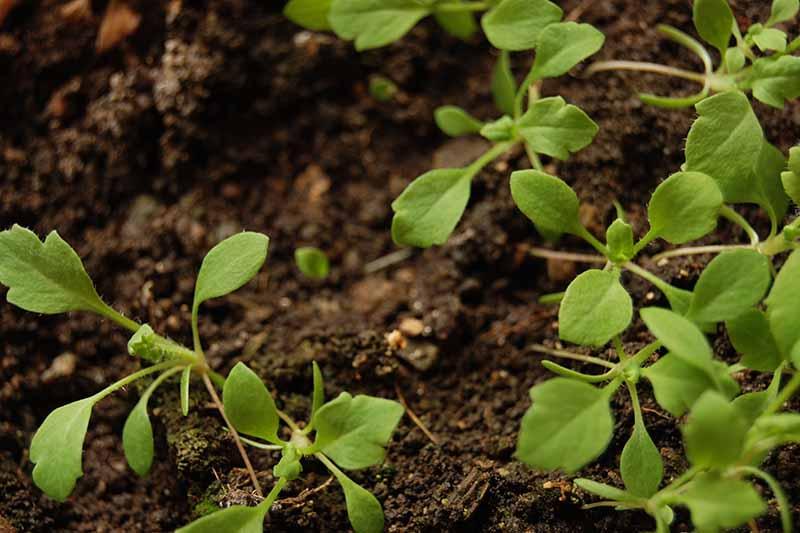 A close up horizontal image of parsnip seedlings pushing through the soil.