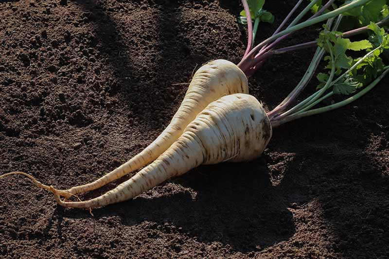 A close up horizontal image of two parsnips with the tops still attached set on the ground in light sunshine.