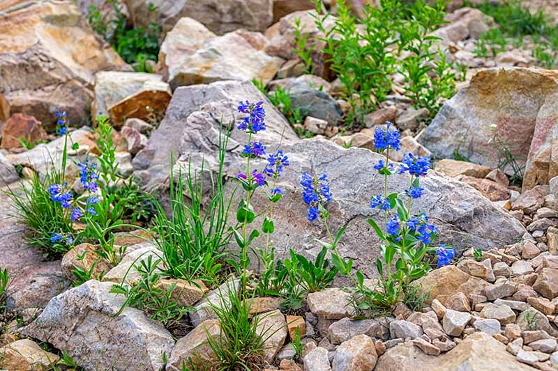 A close up horizontal image of wasatch beardtongue growing in a rocky location.