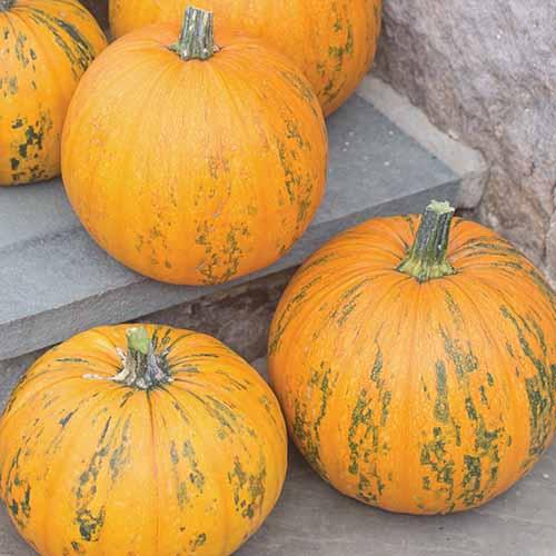 A close up square image of 'Pepitas' hybrid pumpkins freshly harvested set on a concrete surface.