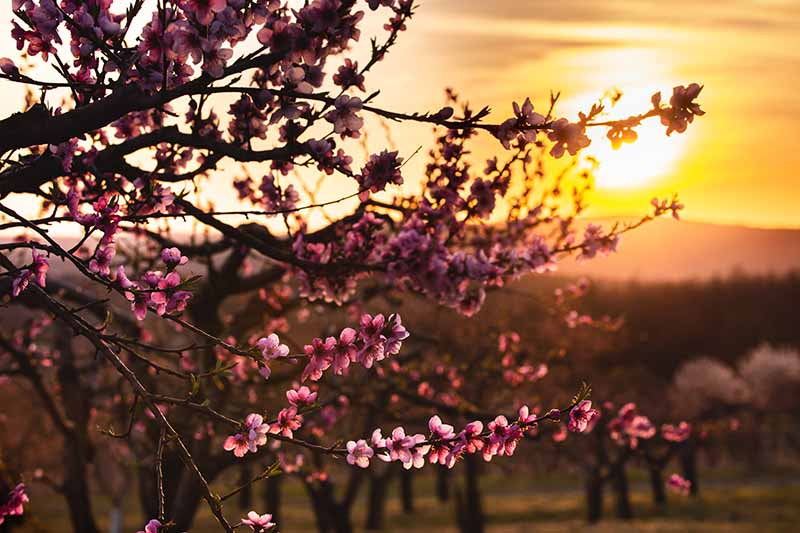 A close up horizontal image of a fruit tree in bloom pictured at sunset on a soft focus background.