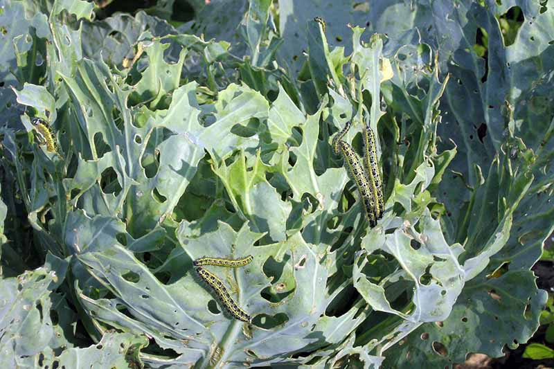 A close up horizontal image of cabbage leaves infested with caterpillars.