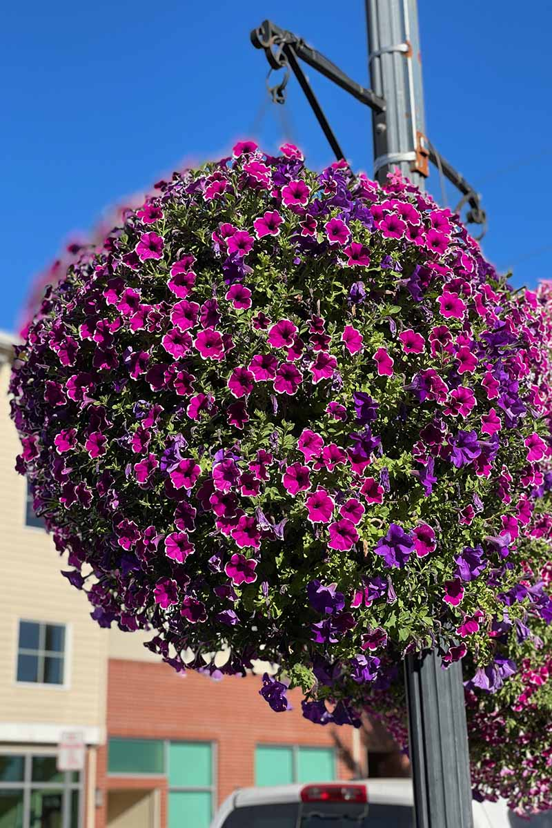 A close up vertical image of a glorious hanging basket filled with pink and purple petunias pictured on a blue sky background.