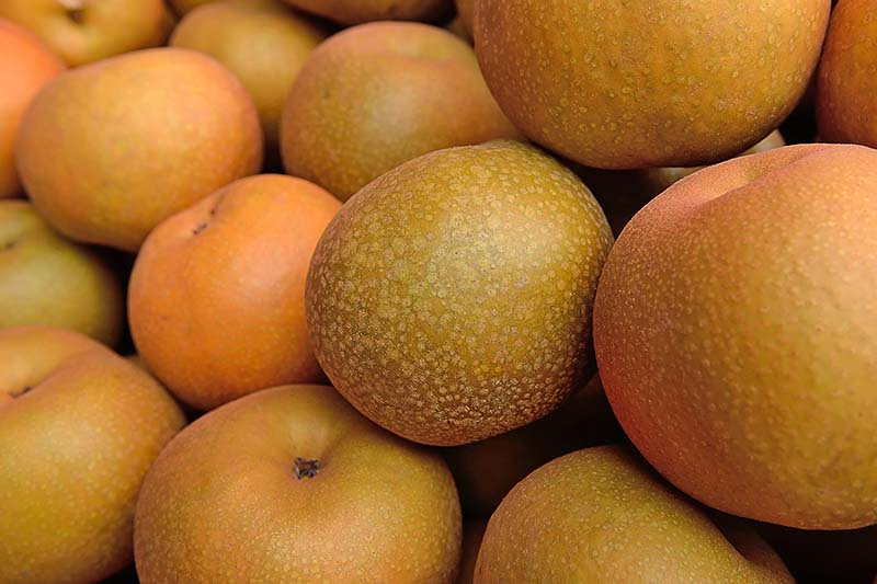 A close up horizontal image of a pile of freshly harvested nashi pears.