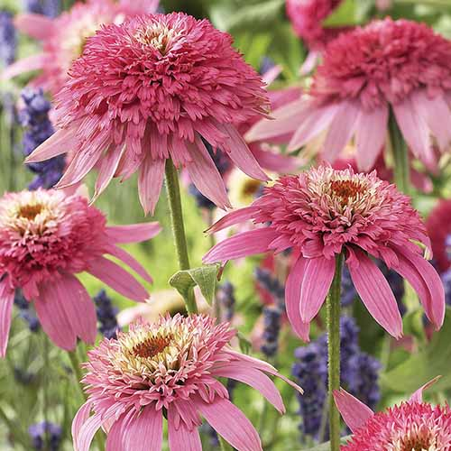 A close up square image of 'Pink Double Delight' growing in the garden pictured on a soft focus background.