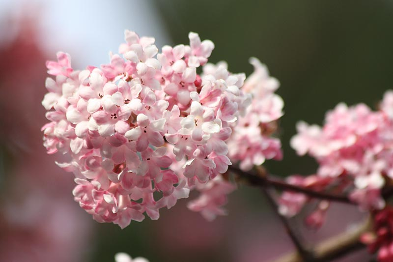 A close up horizontal image of the pink flowers of Bodnant Viburnum x bodnantense pictured on a soft focus background.