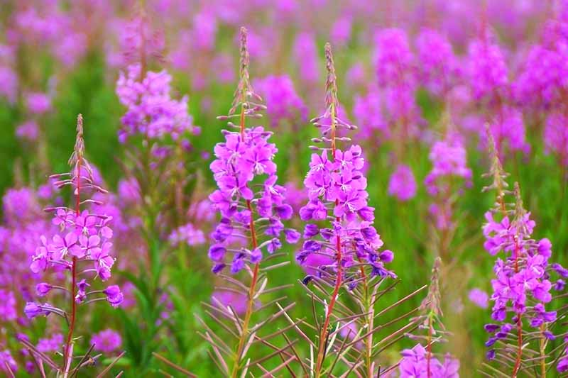 A close up horizontal image of bright pink fireweed growing in a native wildflower meadow.