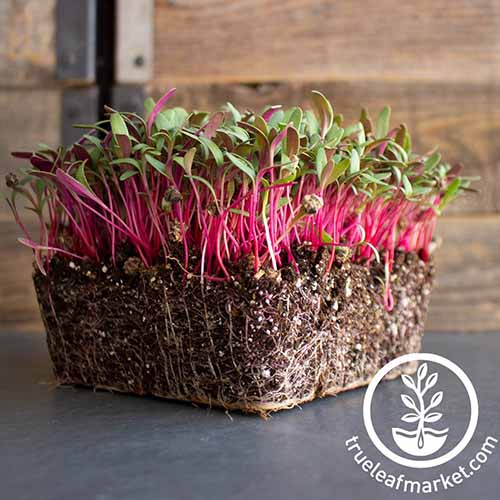 A close up square image of 'Pink Lipstick' Swiss chard being grown as microgreens set on a dark gray surface with a wooden fence in the background. To the bottom right of the frame is a white circular logo with text.