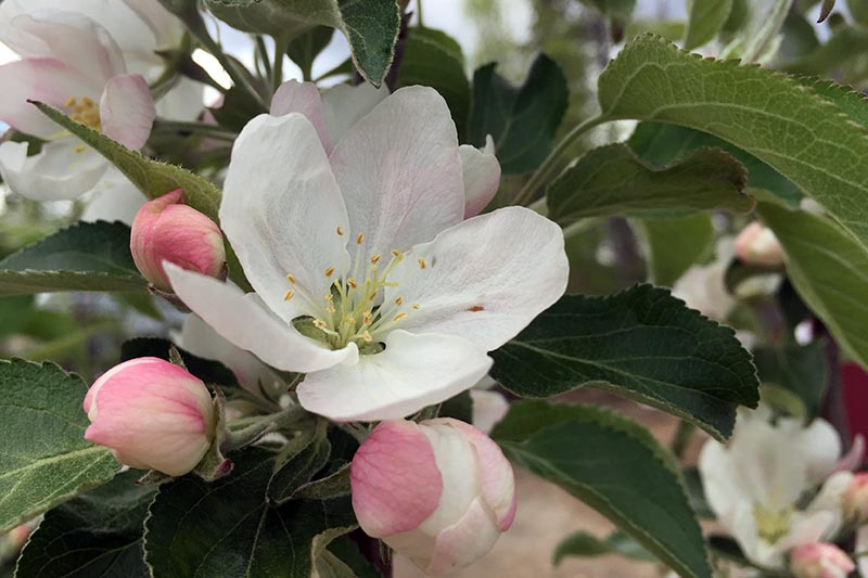 A close up horizontal image of small pink and white apple blossoms in springtime.