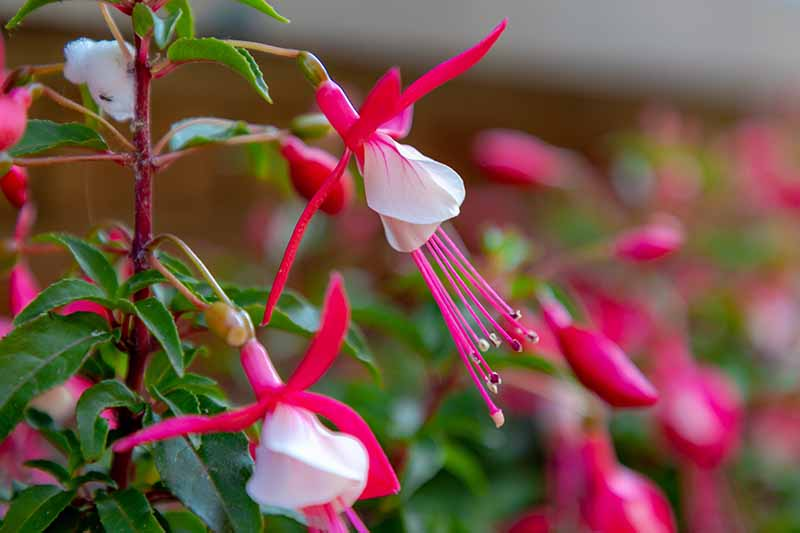 A close up horizontal image of pink and white Fuchsia magellanica flowers pictured on a soft focus background.