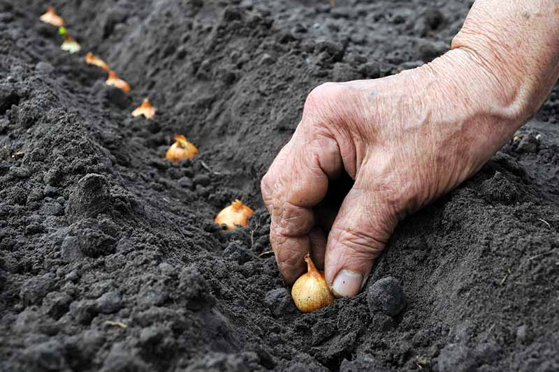 A close up horizontal image of a gardener planting out onion sets in the fall for an early spring harvest.