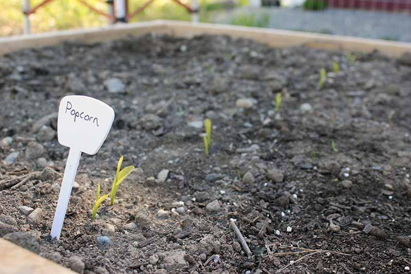 A horizontal image of a garden bed with small seedlings pushing through the ground and a plant sign to the left of the frame.