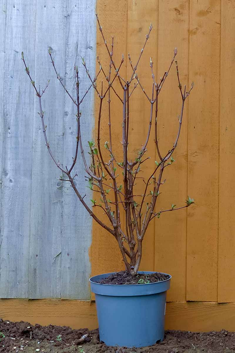 A close up vertical image of a potted arrowwood viburnum ready for transplant pictured with a wooden fence in the background.