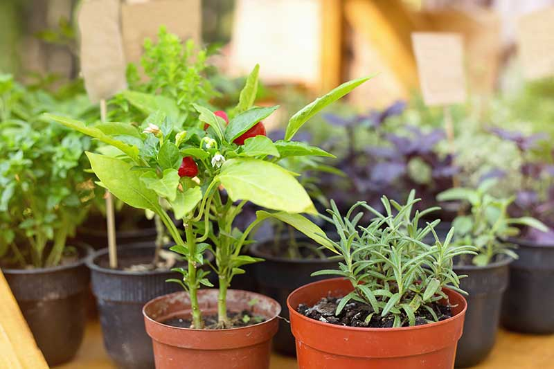 A close up horizontal image of small pots of herbs growing in a greenhouse.