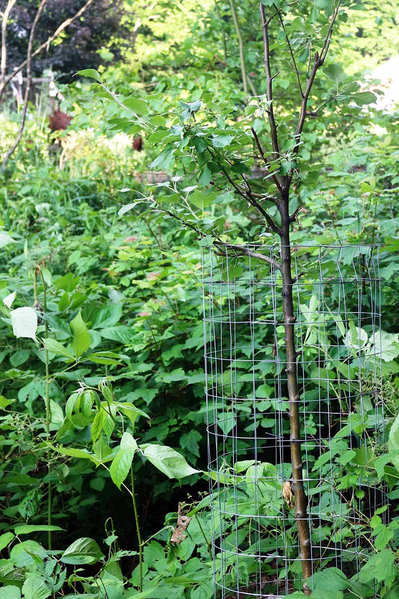A close up vertical image of a fruit tree with wire mesh surrounding it growing in a fruit tree guild with other plants.