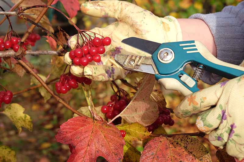 A close up horizontal image of a gardener wearing gloves holding a pair of pruners examining the fruits of a viburnum shrub in autumn.