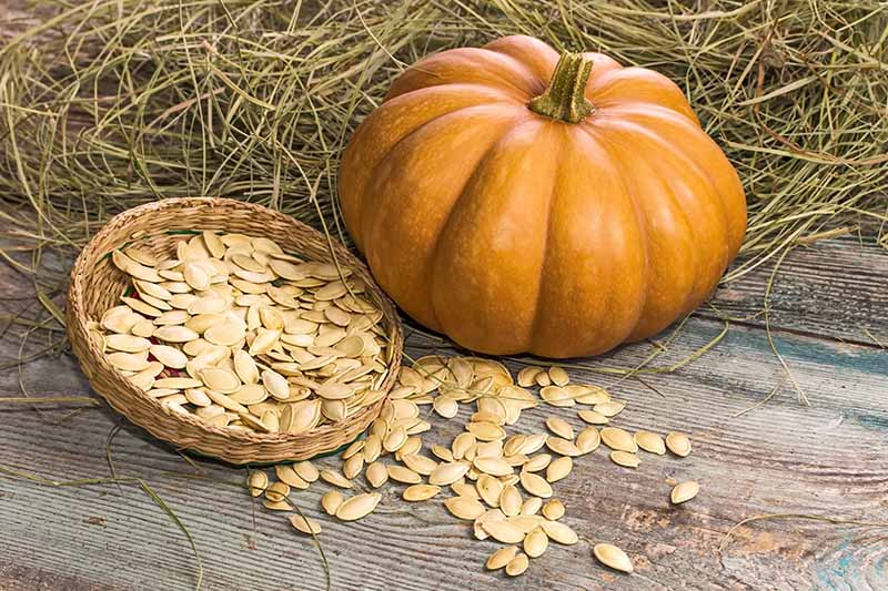 A close up horizontal image of an orange pumpkin with seeds in a wicker basket on a wooden surface against a background of hay.