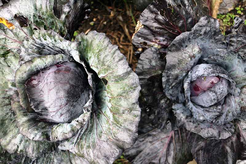 A close up horizontal image of two purple cabbages growing in the garden with large outer foliage and small tight heads.