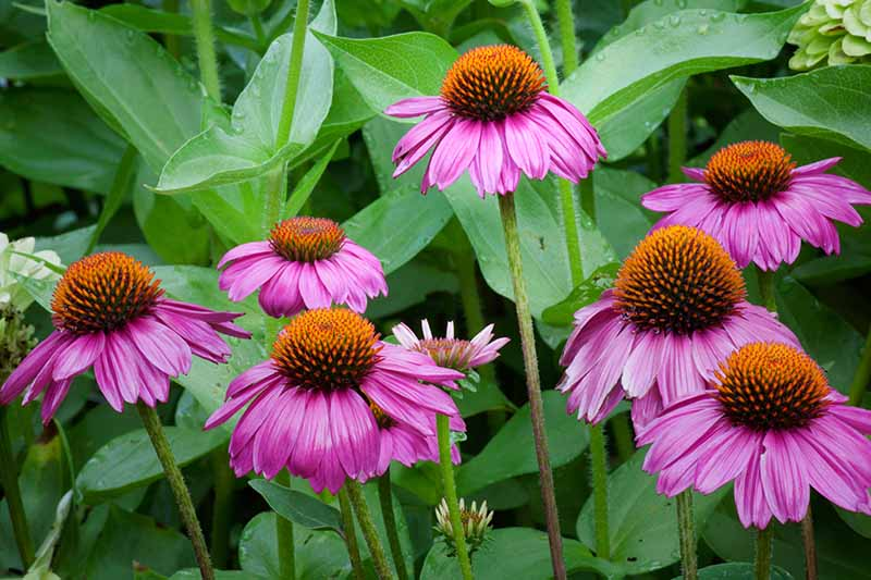 A close up horizontal image of light purple coneflowers blooming in the summer garden with droplets of water on the foliage.