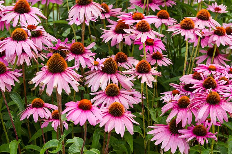 A close up horizontal image of purple coneflowers growing in the garden.