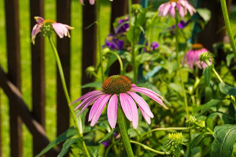 A close up horizontal image of purple coneflowers growing in the garden pictured in light sunshine with a fence in soft focus in the background.