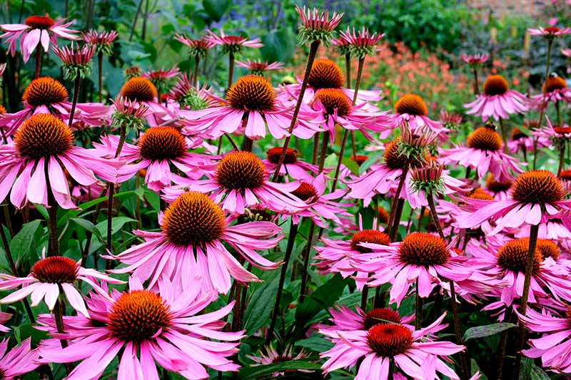 A close up horizontal image of purple coneflowers growing in the garden pictured on a soft focus background.