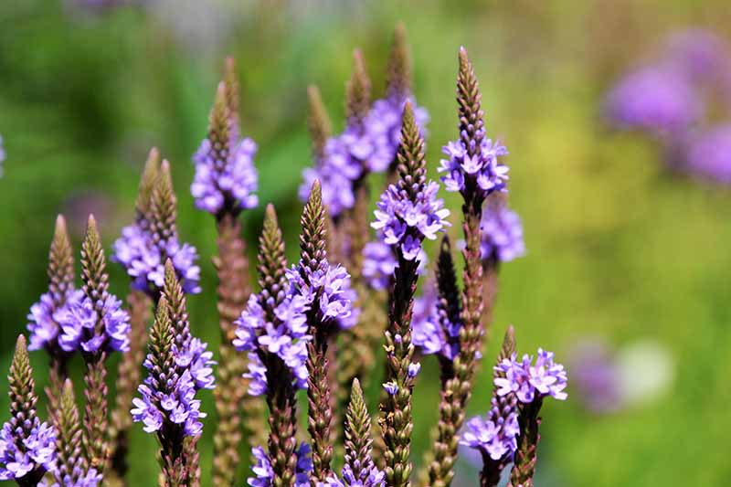 A close up horizontal image of blue vervain (Verbena hasta) purple flowers growing in the garden pictured on a soft focus background.