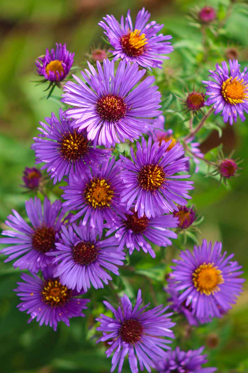 A close up vertical image of bright purple New England aster flowers growing in the garden pictured on a soft focus background.