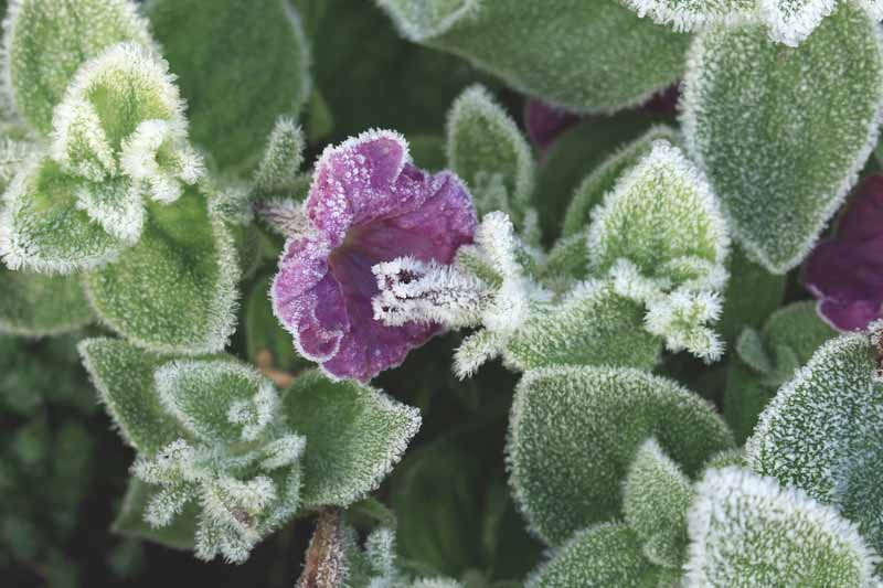 A close up horizontal image of a purple petunia flower and foliage covered with frost.