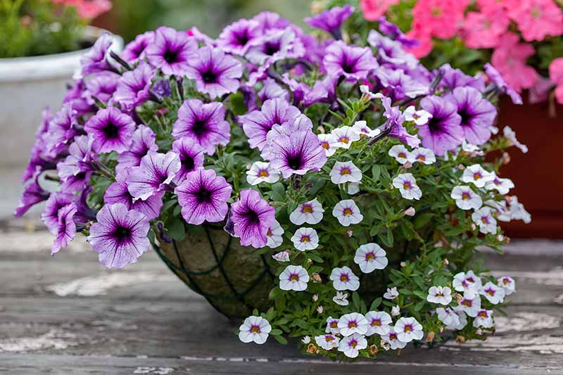 A close up horizontal image of light and dark purple petunias growing in a hanging basket set on a wooden surface.
