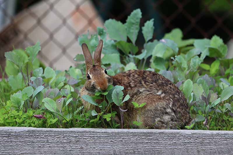 A close up horizontal image of a rabbit eating from a raised bed vegetable garden.