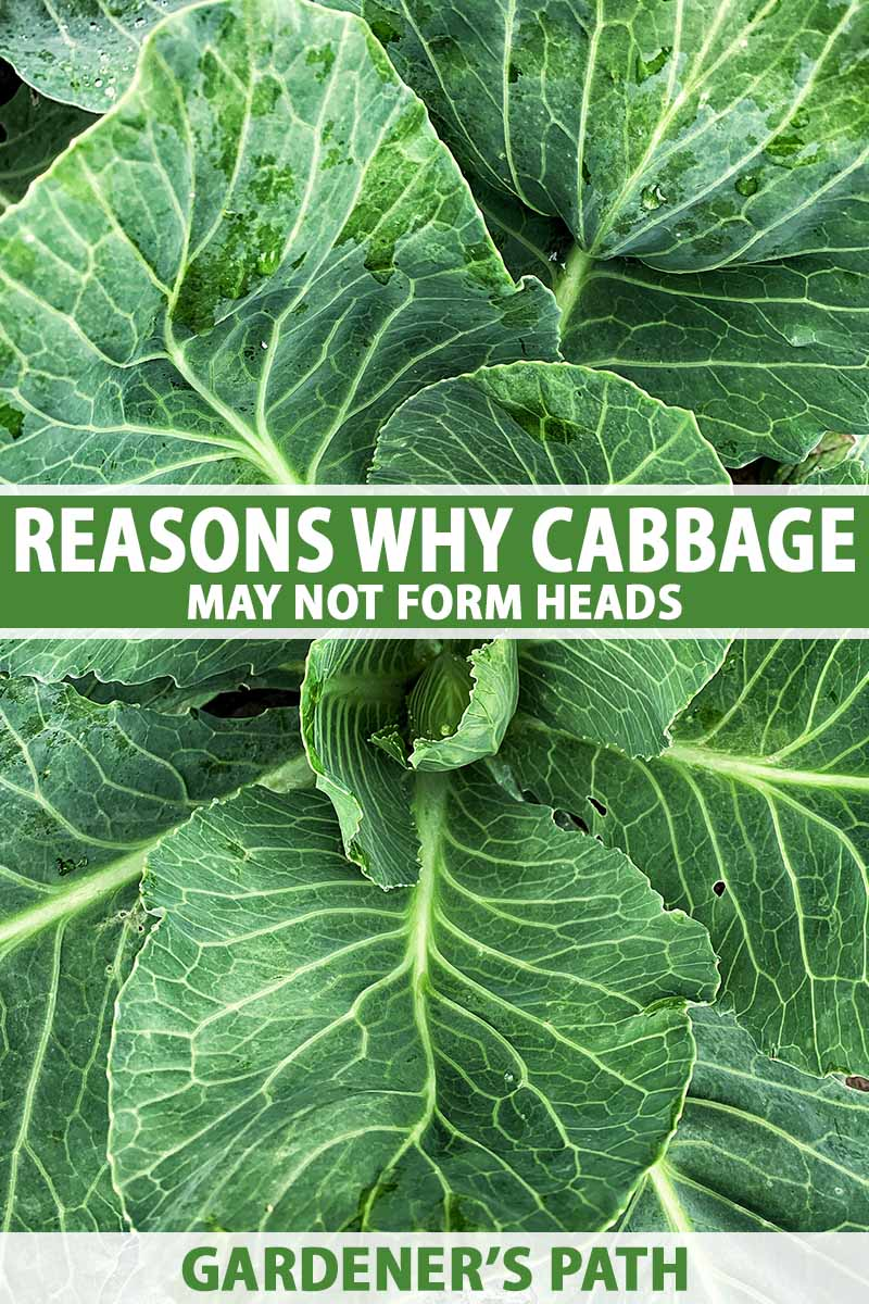 A close up vertical image of a cabbage plant growing in the garden with an abundance of leafy greens but no sign of the formation of a head. To the center and bottom of the frame is green and white printed text.