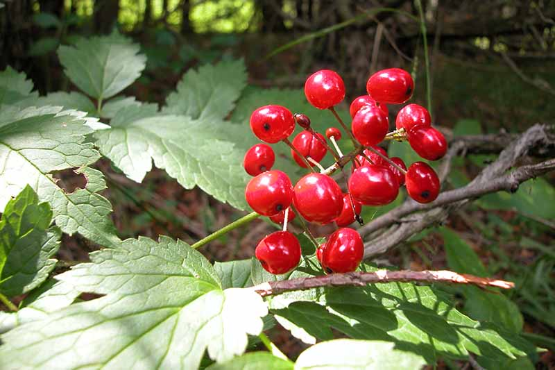 A close up horizontal image of the red berries of Actaea rubra growing in a woodland setting pictured in light filtered sunshine.
