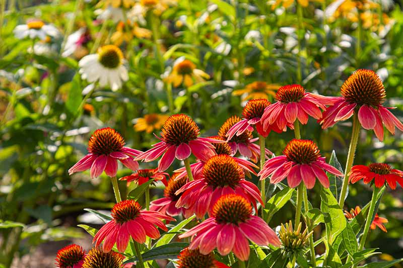 A close up horizontal image of red and white coneflowers growing in a sunny garden pictured on a soft focus background.
